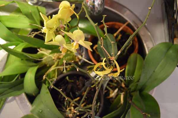 Orchideen wässern / tauchen