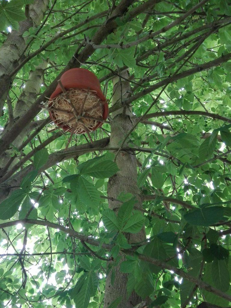 Ohrenkneifer Nest